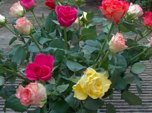 rozen-1.jpg